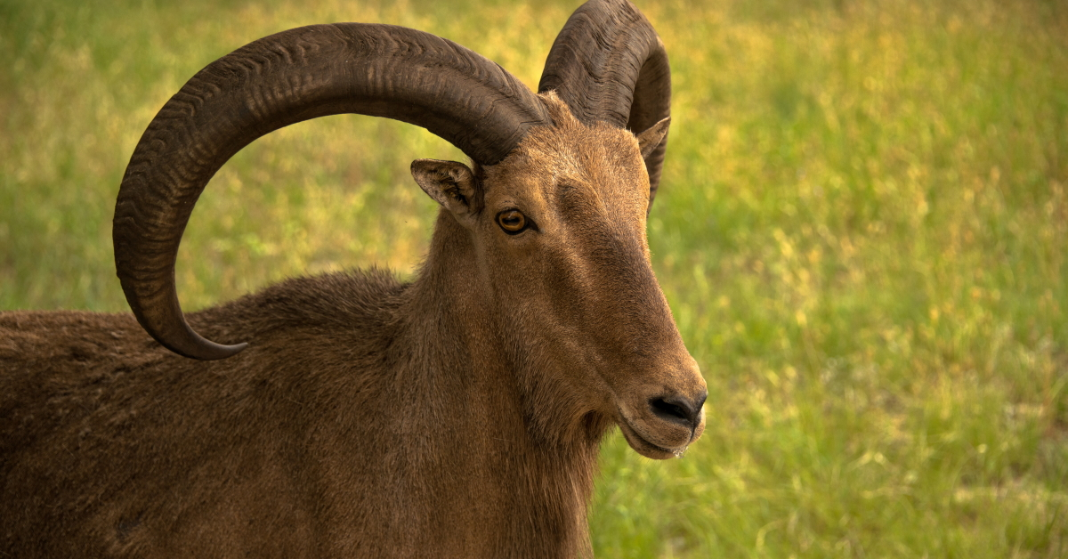 Your Comprehensive Guide to Ram Hunting in Kansas